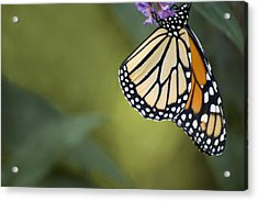 Acrylic Print featuring the photograph Monarch Art by Elsa Marie Santoro