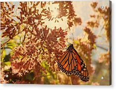 Monarch Beauty Acrylic Print by Beth Collins