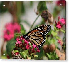 Monarch Butterfly On Fuchsia Acrylic Print