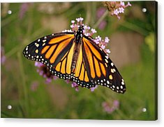 Monarch Butterfly Acrylic Print by Beth Collins