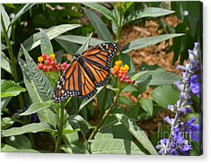 Acrylic Print featuring the photograph Monarch Butterfly by Carol  Bradley