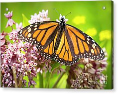 Acrylic Print featuring the photograph Monarch Butterfly Closeup  by Ricky L Jones