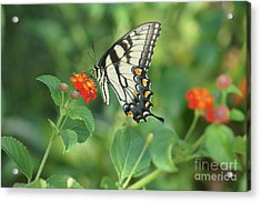 Monarch Butterfly Acrylic Print by Debra Crank