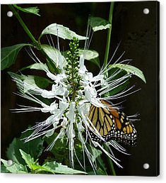 Monarch Butterfly Feeding Acrylic Print by Margaret Saheed