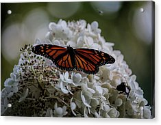Monarch Butterfly Feeding On Hydrangea Tree Acrylic Print