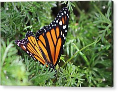 Monarch Butterfly In Lush Leaves Acrylic Print