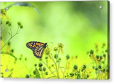 Acrylic Print featuring the photograph Monarch Butterfly by Lori Coleman