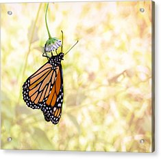 Monarch Butterfly Hanging On Wildflower Acrylic Print