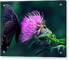 Monarch Butterfly On Milk Thistle Acrylic Print