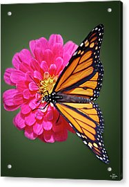 Monarch Butterfly On Pink Flower Acrylic Print