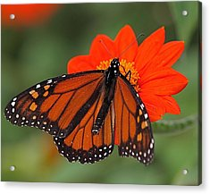Monarch Butterfly Acrylic Print by Peter Gray