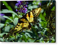Swallowtail Butterfly Acrylic Print by Robyn King