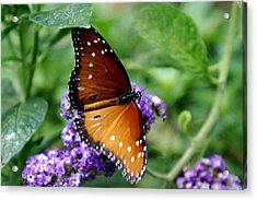 Monarch Butterfly Acrylic Print by Sonja Anderson