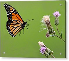 Acrylic Print featuring the photograph Monarch Butterfly by William Jobes