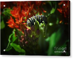 Monarch Acrylic Print by Fred Lassmann