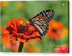 Monarch Glow Acrylic Print