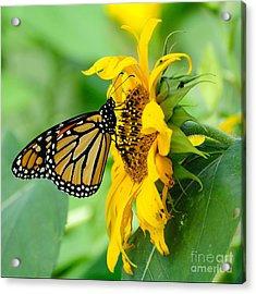 Monarch Gold Acrylic Print by Edward Sobuta