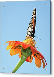 Acrylic Print featuring the photograph Monarch I by Dawn Currie
