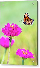 Monarch In Flight 1 Acrylic Print
