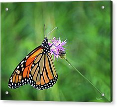Monarch In The Meadow Acrylic Print
