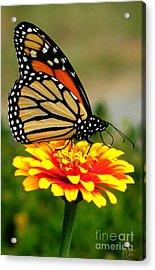 Monarch Acrylic Print by Jeff Breiman