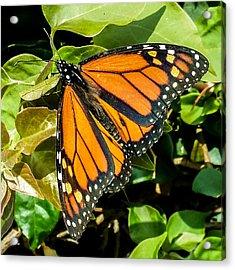 Monarch Acrylic Print by Mark Barclay