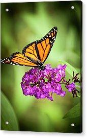 Monarch Moth On Buddleias Acrylic Print
