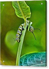 Monarch Munchies Acrylic Print