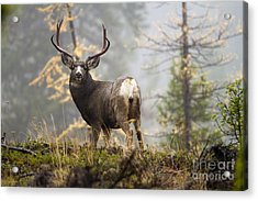Monarch Of The Mountain Acrylic Print
