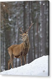 Monarch Of The Woods Acrylic Print
