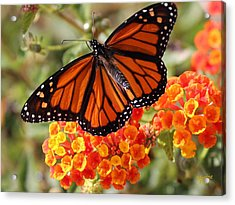 Monarch On 2 Flowers Acrylic Print