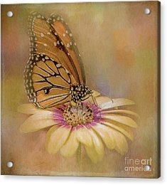Monarch On A Daisy Mum Acrylic Print