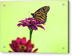 Monarch On A Zinnia Acrylic Print by Shelly Gunderson
