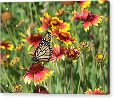 Acrylic Print featuring the photograph Monarch On Blanketflower by Peg Urban