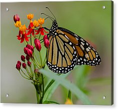 Monarch On Butterfly Weed Acrylic Print