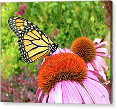 Acrylic Print featuring the photograph Monarch On Coneflower by Randy Rosenberger