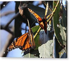 Monarch On Eucalyptus Acrylic Print