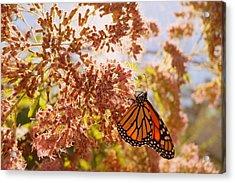 Monarch On Milkweed Acrylic Print by Beth Collins