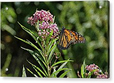 Acrylic Print featuring the photograph Monarch On Milkweed by Sandy Keeton