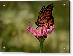Acrylic Print featuring the photograph Monarch On Pink Zinnia by Ann Bridges