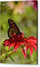 Acrylic Print featuring the photograph Monarch On Red Zinnia by Ann Bridges