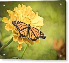 Monarch On Zinnia 5-2015 Acrylic Print