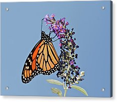 Acrylic Print featuring the photograph Monarch Orange And Blue by Lara Ellis