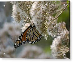 Monarch Pink Acrylic Print