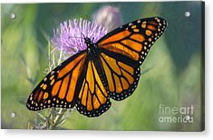 Acrylic Print featuring the photograph Monarch's Beauty by Rima Biswas