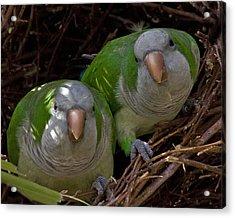 Monk Parakeet Pair Acrylic Print