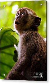 Monkey Awe Acrylic Print