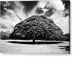 Monkey Pod Tree In Black And White Acrylic Print by Charmian Vistaunet