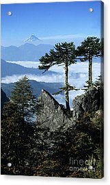 Monkey Puzzle Trees In Huerquehue National Park Acrylic Print by James Brunker