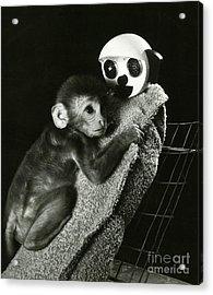Monkey Research Acrylic Print